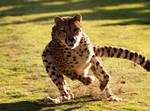 Cheetah 4