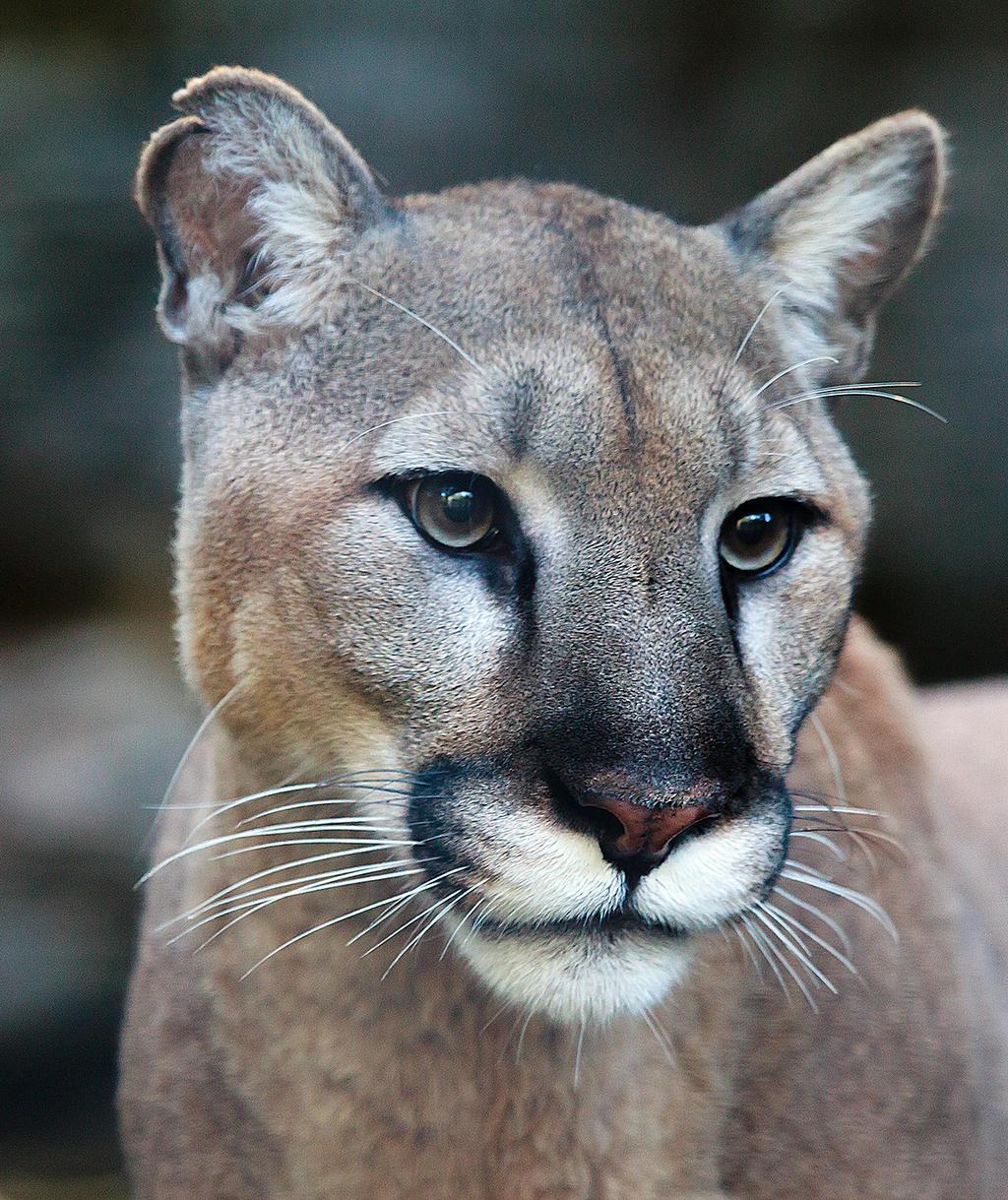 Puma 3780 by dkbarto