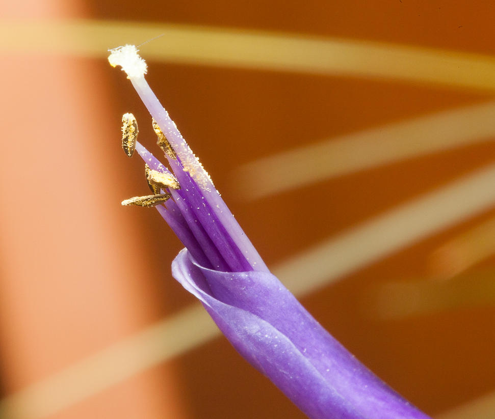 Tillandisia-Blossom by dkbarto