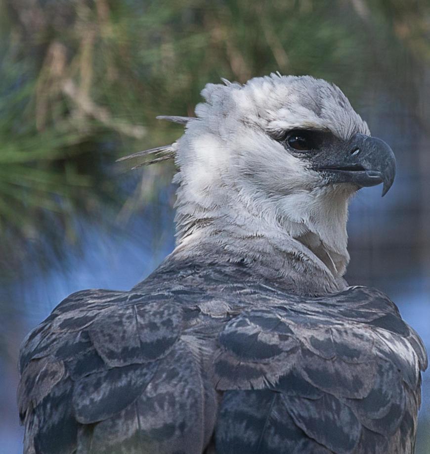 Harpy-Eagle by dkbarto