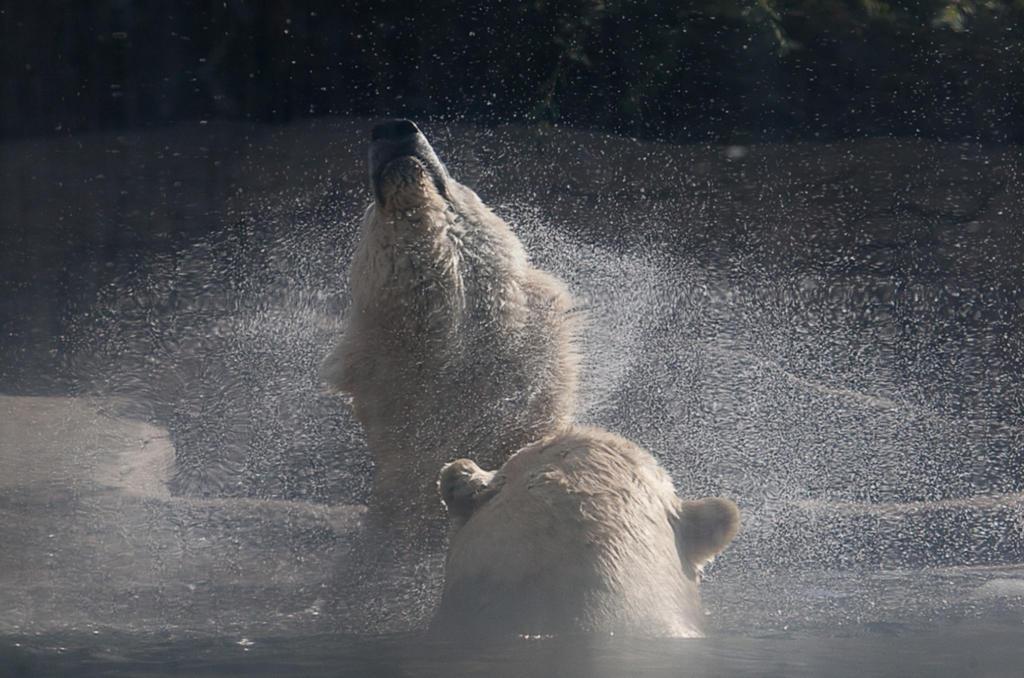 PolarBear-Shake by dkbarto