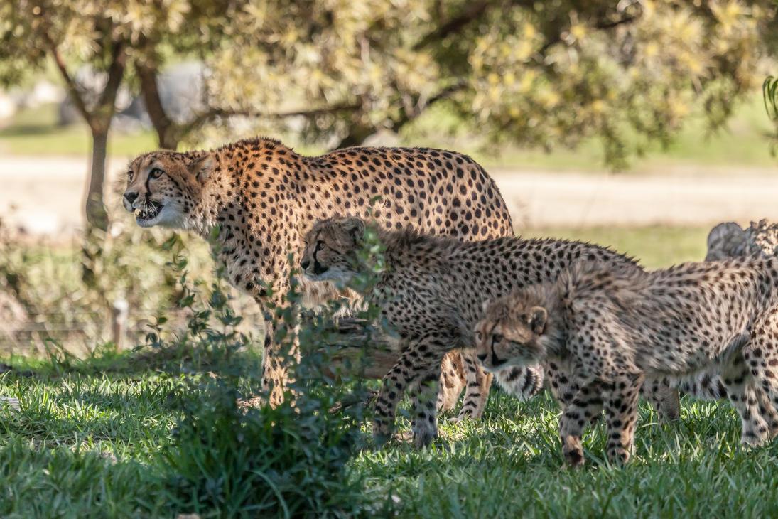 Cheetahs-8 by dkbarto