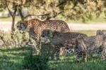 Cheetahs-8