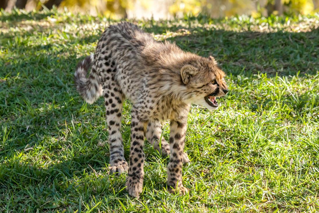 Cheetahs-20 by dkbarto