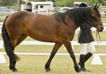 Partbred Friesian windy
