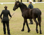 Partbred Friesian walk out