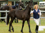 Partbred Friesian trot 2