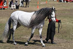 Andalusian 004