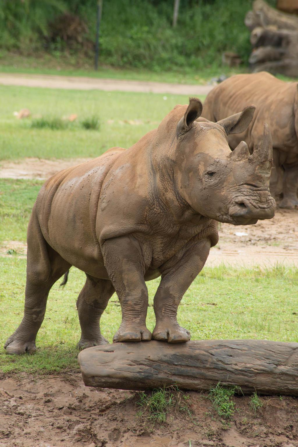Australia Zoo - Rhinoceros
