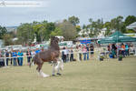 SRCS Clydesdale #130