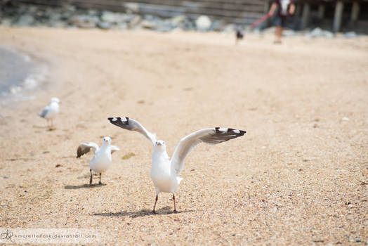 Seagulls #210