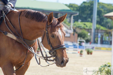 RQS Show Jumping #70 by AmoretteRose