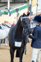 RQS Australian Pony #173
