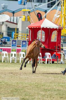 Premium Australian Pony #8