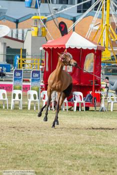 Premium Australian Pony #7