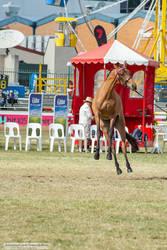 Premium Australian Pony #6