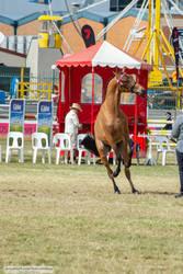 Premium Australian Pony #5