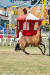 Premium Australian Pony #4
