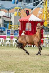 Premium Australian Pony #3