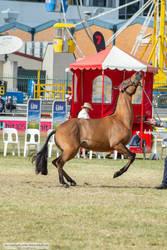 Premium Australian Pony #2