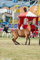 Premium Australian Pony #1