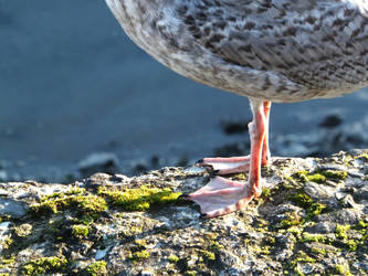Seagull by divafica