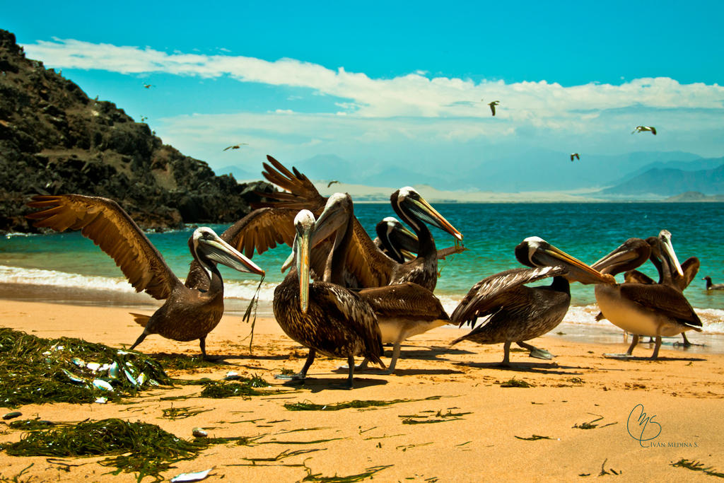Dancing pelicans by tatonex