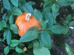 Pumping Pumpkin