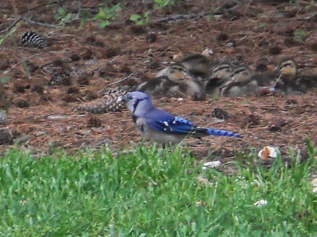 Blue Bird and Ducklings