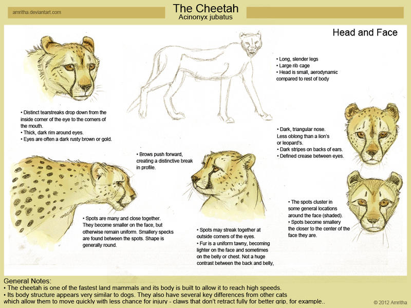 Cheetah Head Study by Amritha on DeviantArt
