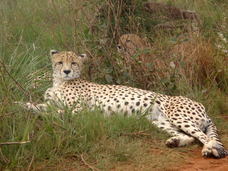 Wild Animals Cheetah wallpaper