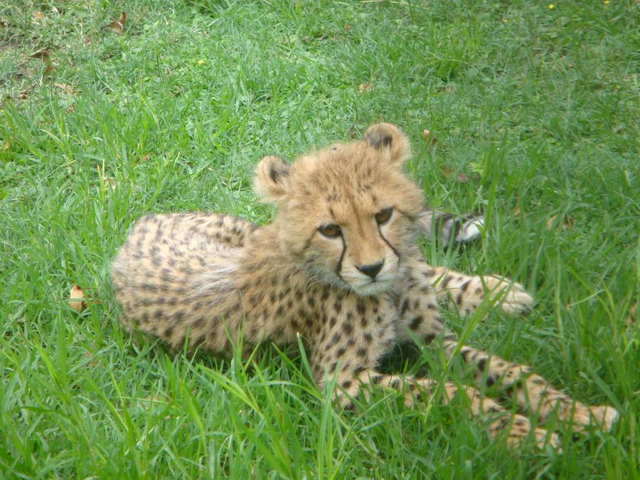 Wild Animal Little cheetah wallpaper