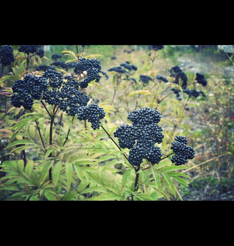 Elderberry by AlexandrinaAna