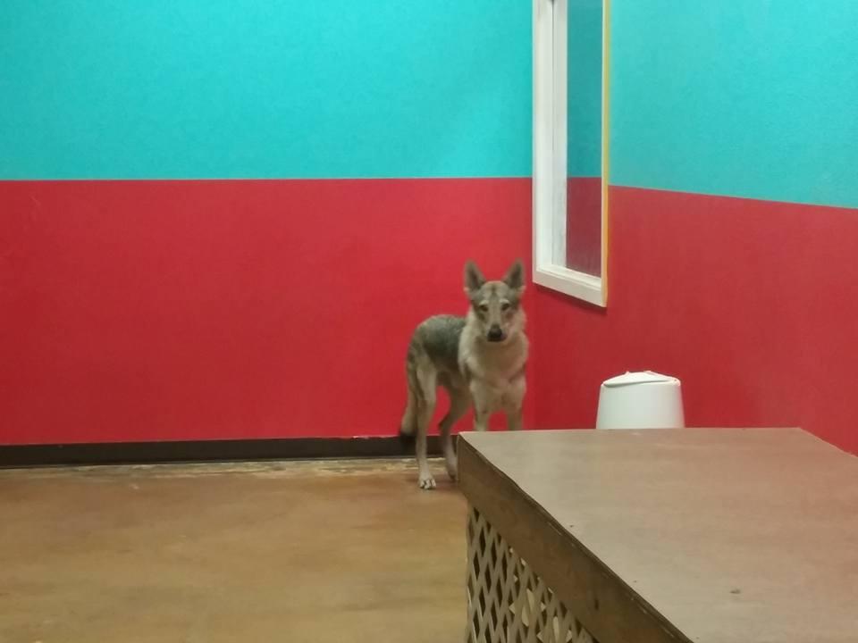 D'Jango, the hybrid wolf by ChibiEricka