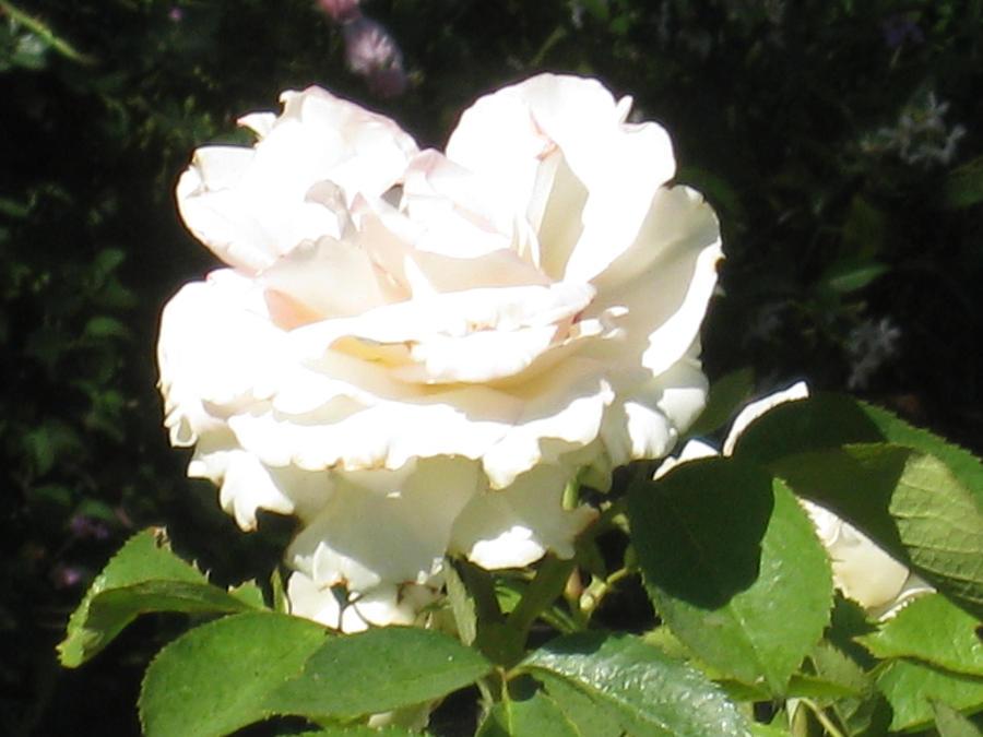 white rose by cometgazer379