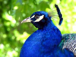 peacock by kureejiilea