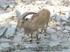Arui -  Aoudad by kuces