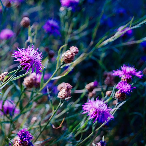 Purple dream by minastir