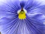 Soft Purple Bloom