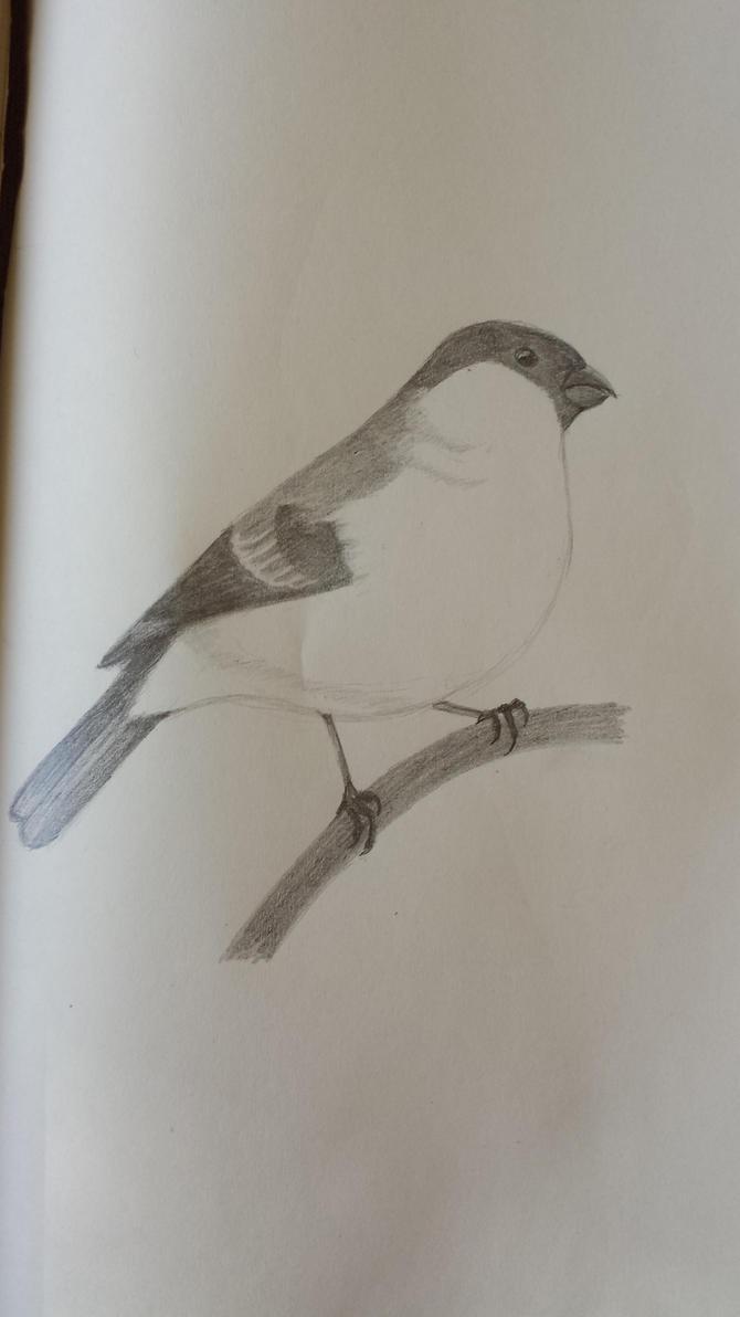 Bull Finch Sketch by Tefu-Tefu