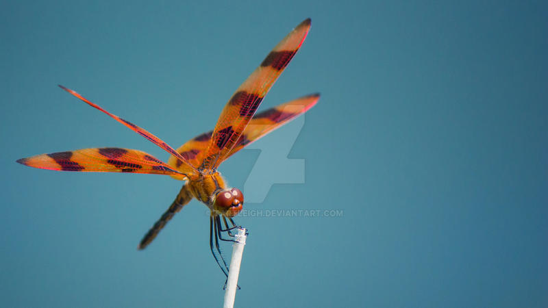 Tiger-Striped Dragonfly by tartleigh