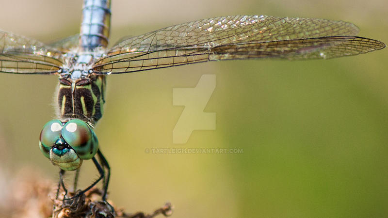 Dragonfly by tartleigh