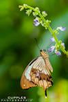 Bluebell Butterfly