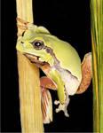 'Frog' Caran D'Ache