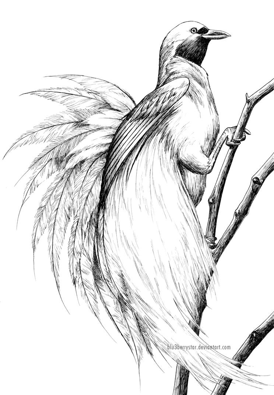 Kumpulan Gambar Burung Cendrawasih Sketsa Sketsabaru