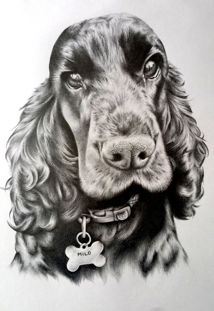 Cocker Spaniel Drawing By Charlottexbx