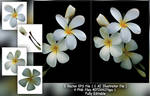 Frangipani Flower by ryan-mahendra