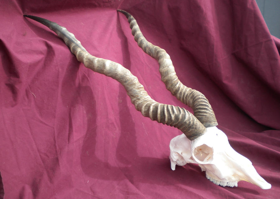Blackbuck antelope skull - photo#8
