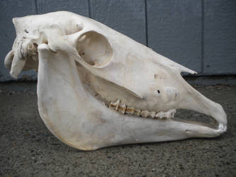 67 Yearling Horse Skull 1 by Minotaur-Queen