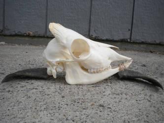 43 Sheep Skull 2 by Minotaur-Queen